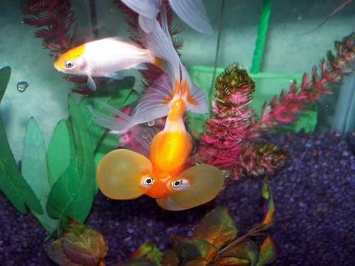 Як містити акваріумних рибок