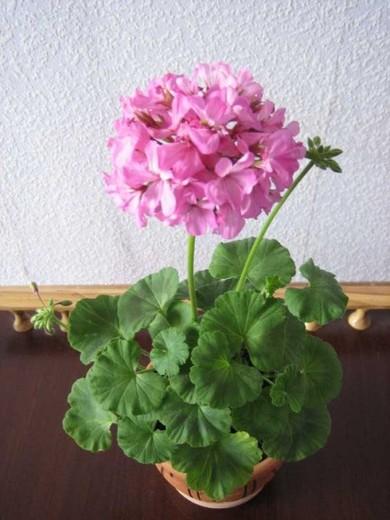 Як посадити кімнатний квітка