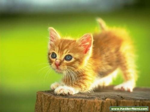 Кішки не піддаються дресируванню це
