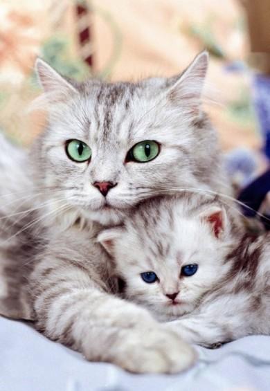 Як зрозуміти, що кішка завагітніла