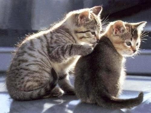 Як примирити котів