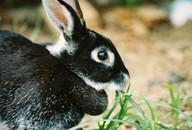 кролика декоративного фото