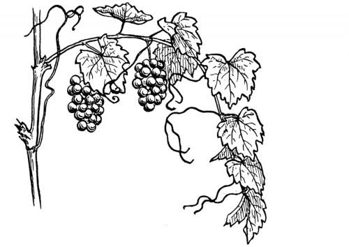 Як малювати виноград