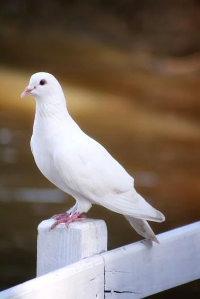 Як відрізнити голуба від голубки