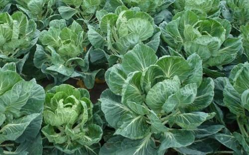 Як вирощувати капусту з розсади